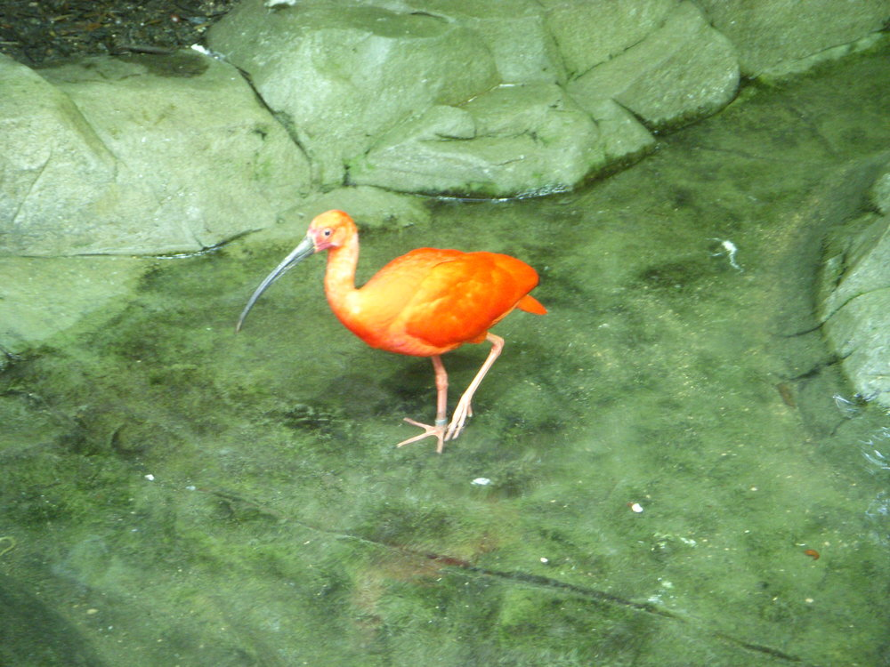 The scarlet ibis in the flesh.
