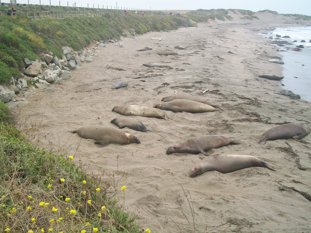 Elephant seals at peace