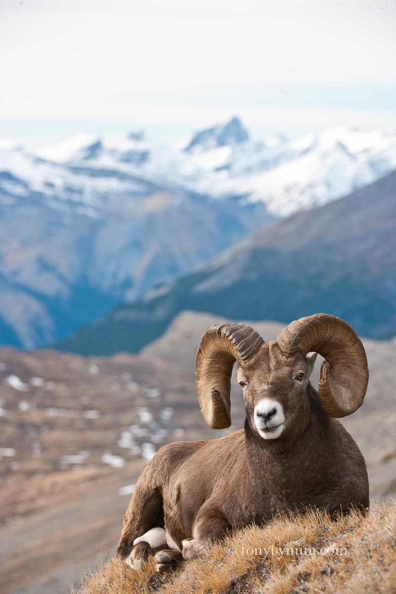 Follow researcher Jack Hogg as he discusses what a changing climate might mean for bighorn sheep.
