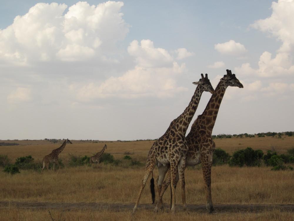 Giraffe Masai Mara Safari