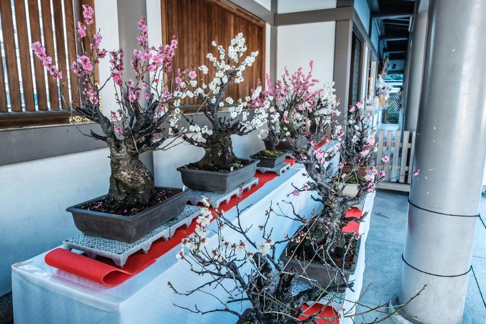 Bonsai plum blossoms?