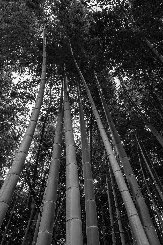 Myōjūji's bamboo grove, a small one though
