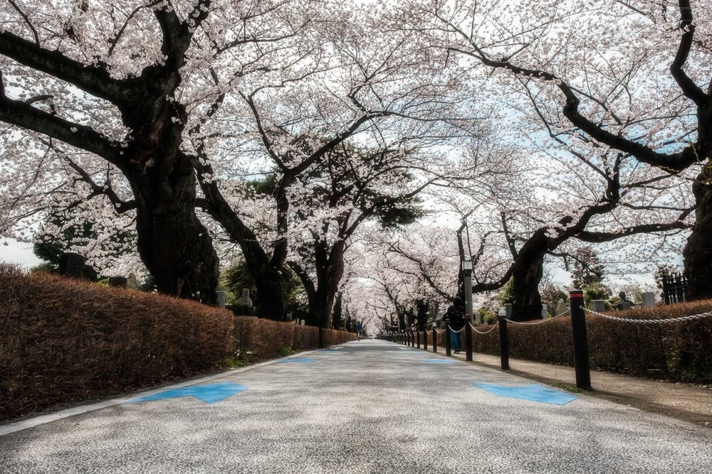 Aoyama Cemetery during the cherry blossom season of 2018
