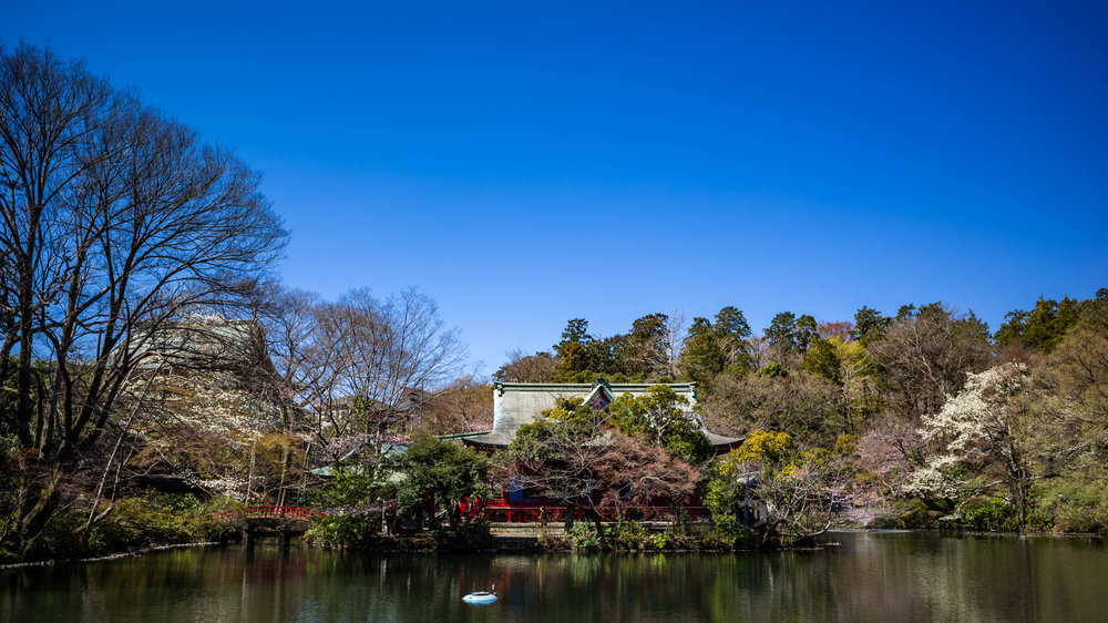 Not many cherry blossoms near the shrine of Benzaiten