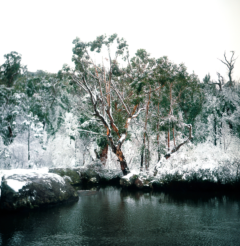 Gum Tree Covered in Snow by a Billabong