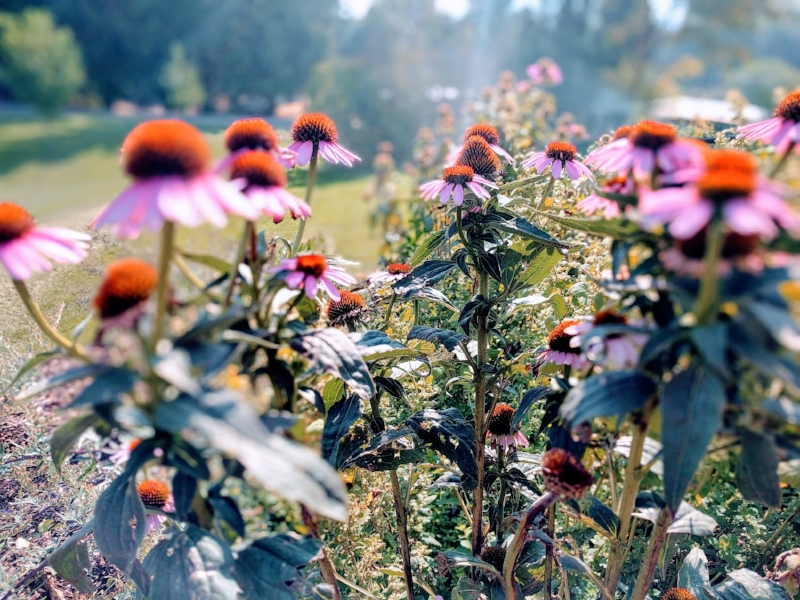 Echinacea purpurea in the apothecary garden
