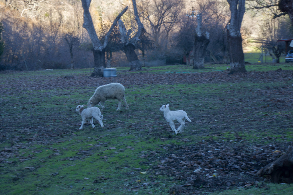 sheep6.jpg