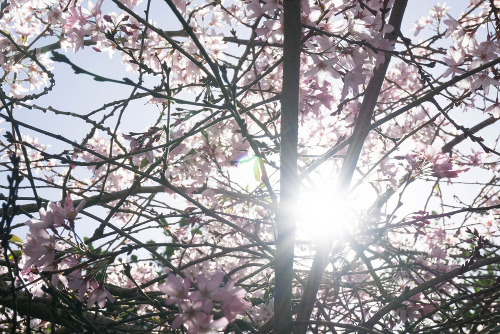 blossomsGGP2.jpg