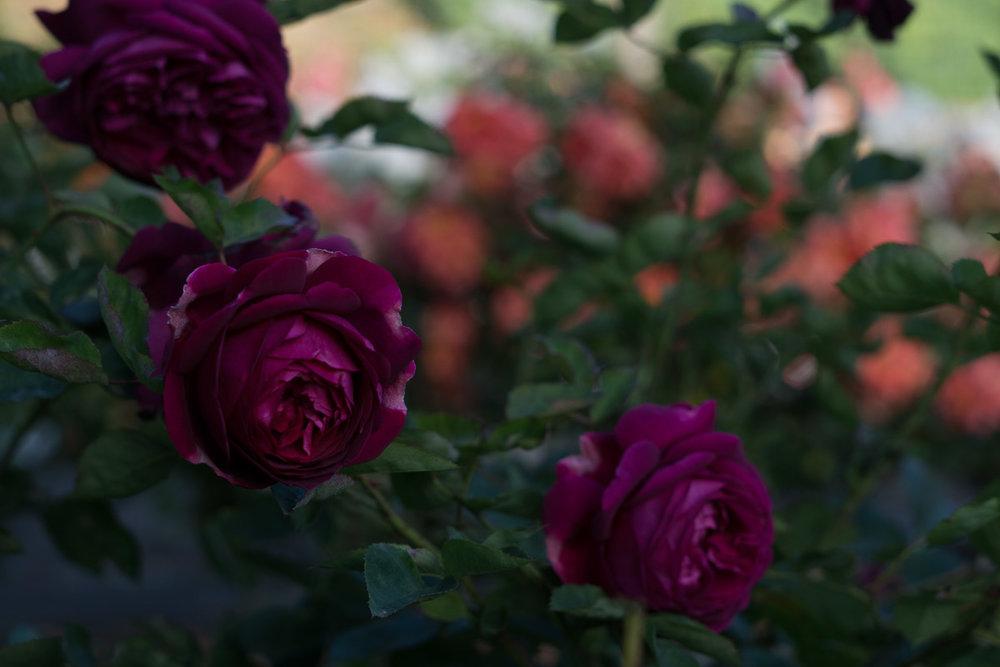 Rose garden original pre-retouch