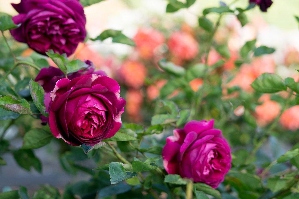 Rose Garden final post retouch