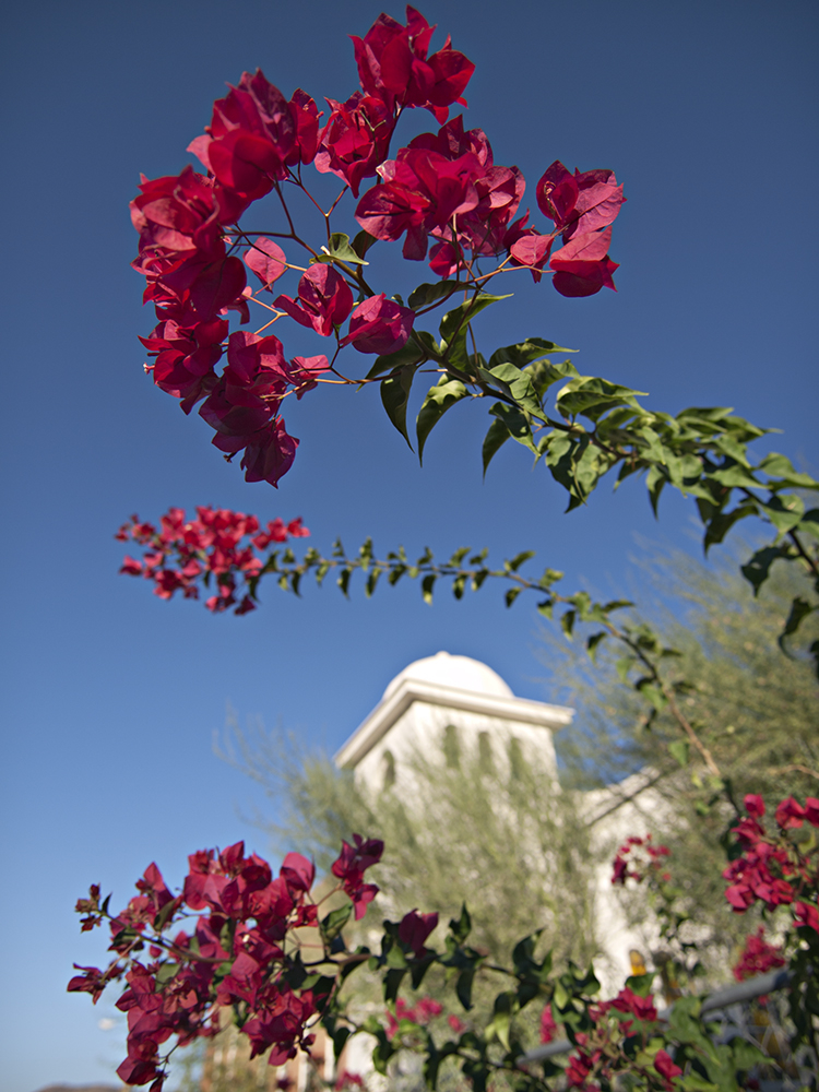 Daylight Bougainvillea