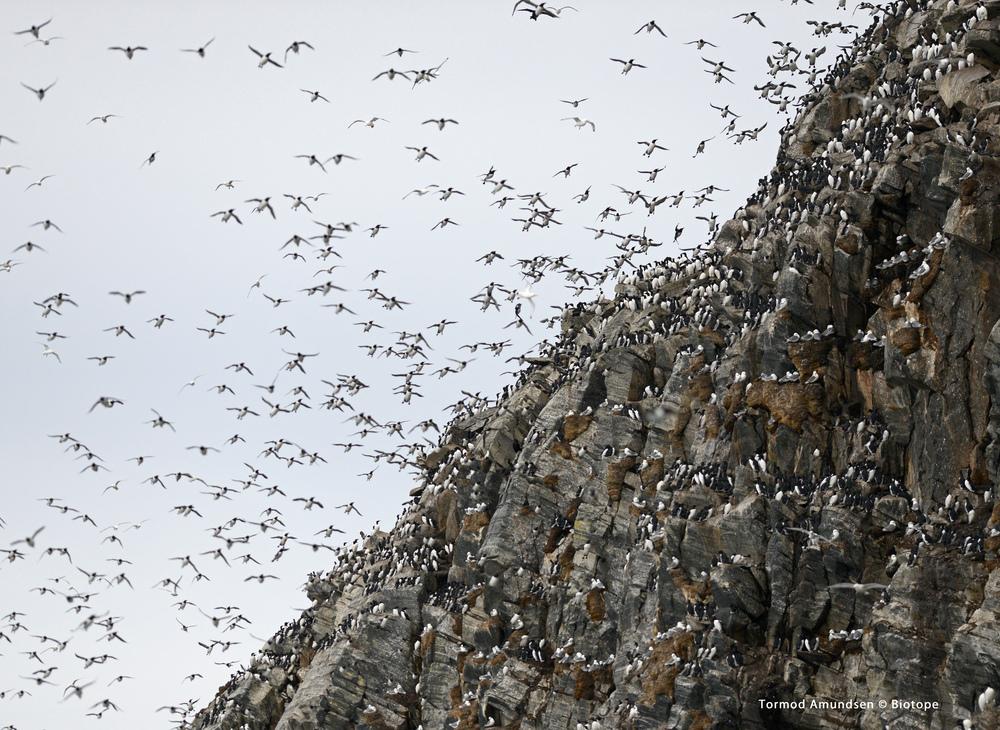 Hornøya incoming guillemots bird cliff march 2014 med res sign Amundsen Biotope.jpg