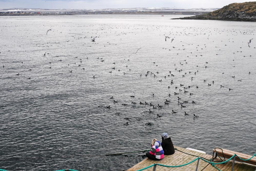 vardo Hornoya birdlife may2011 2.jpg
