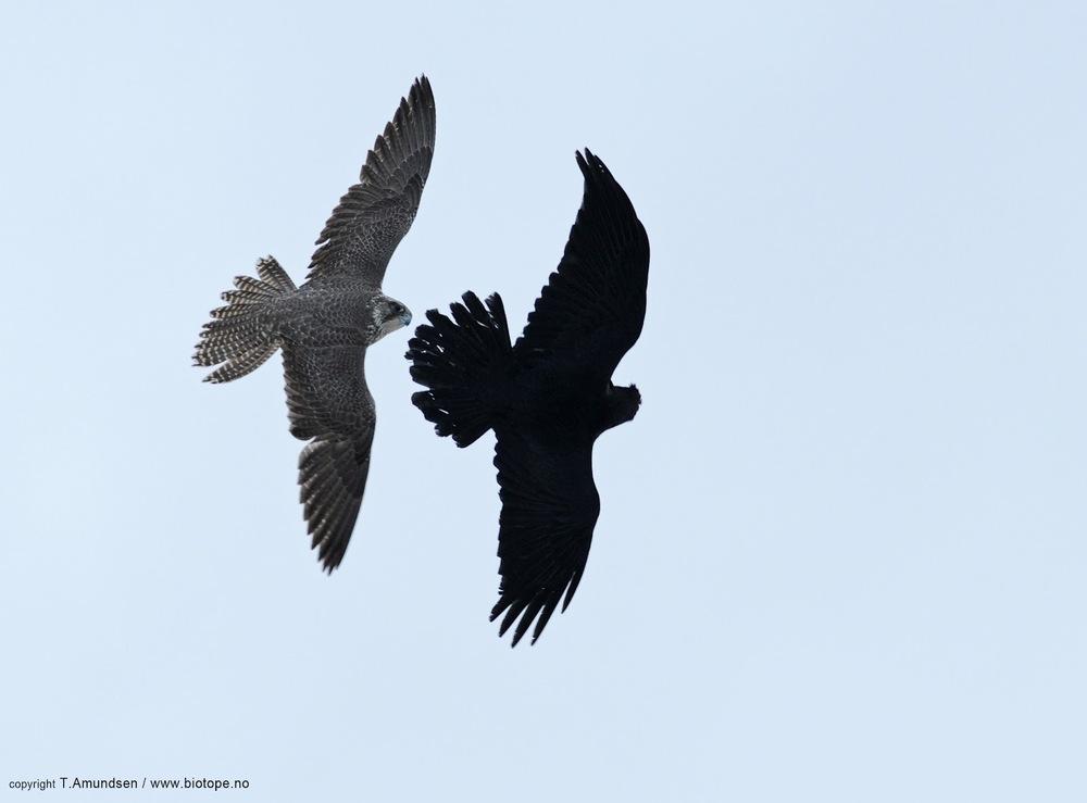 Gyrfalcon vs Raven 6 Hornoya march 2012 Amundsen Biotope.jpg