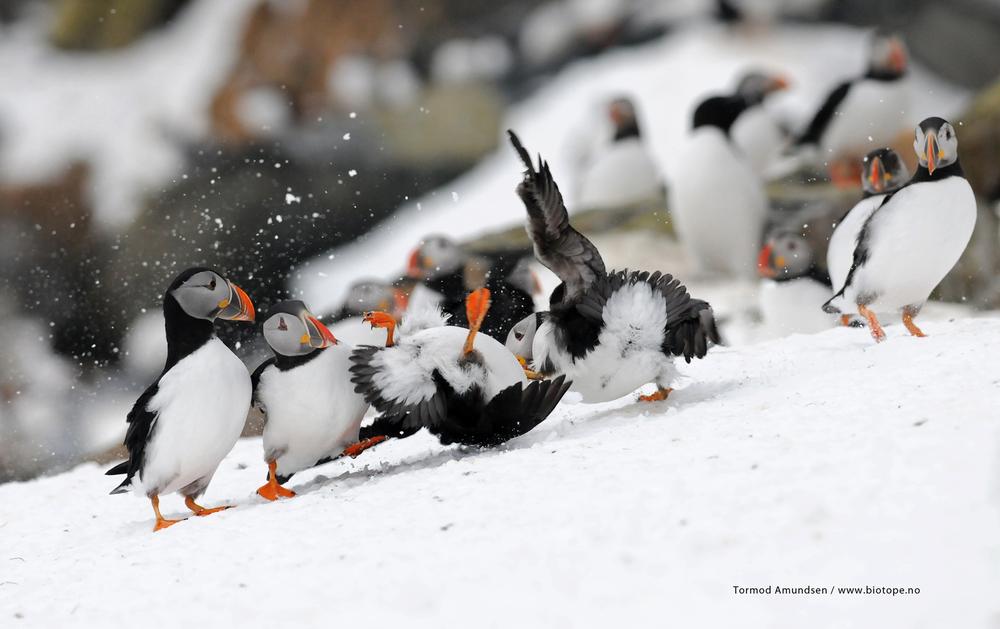 puffin fight club Hornoya MedRes TAmundsen Biotope.jpg