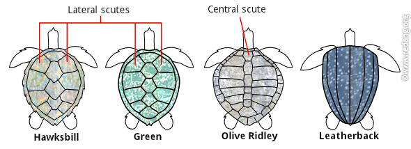 Identification of turtles based on scute arrangements.Photo Credit: http://www.redang.org/