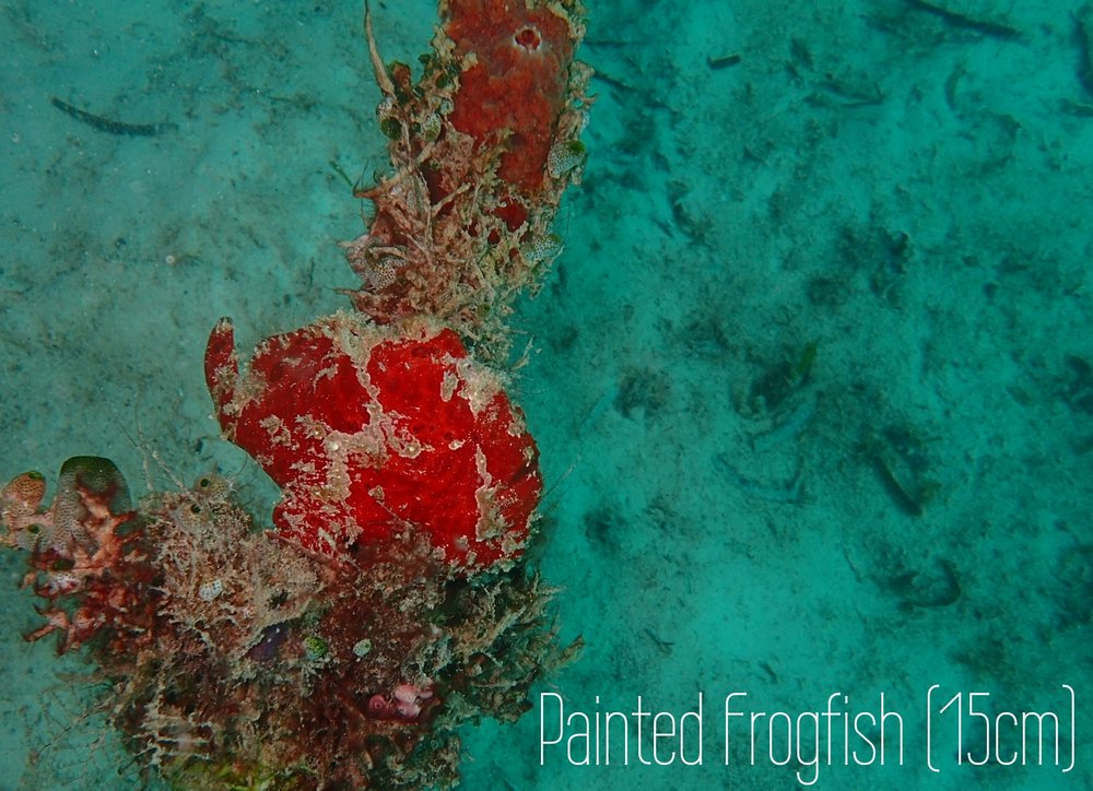 painted-frogfish.jpg