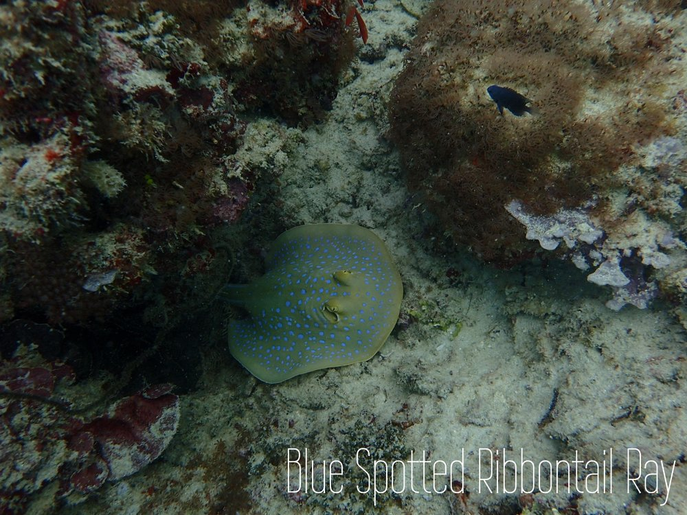 blue-spotted-ribbontail-ray.jpg