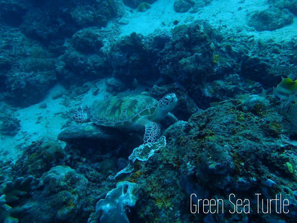 Read on to see more cute green sea turtles!