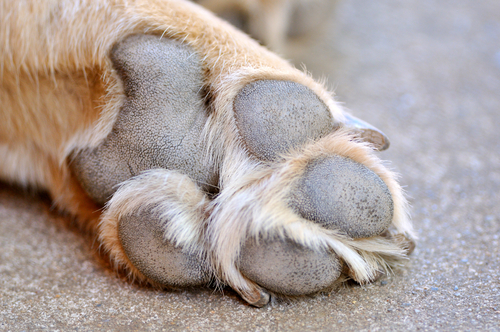 Dogs' only sweat glands are between the pads of their feet.