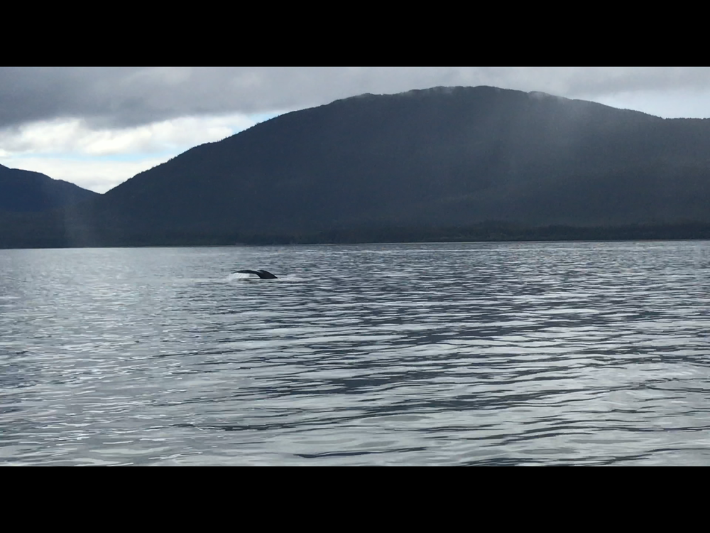 Humpback Whale, Juneau, Alaska - May 29th, 2018