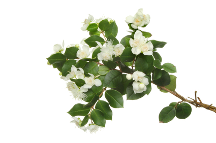 Islamic Medicine and skincare - Myrtle