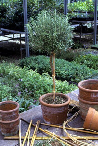 rosemary topiary.jpg
