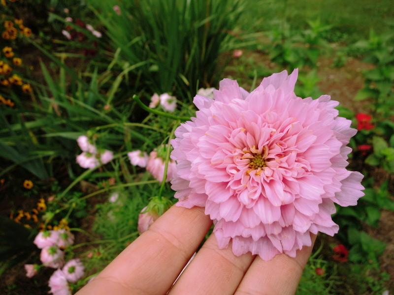 Cosmos Doubleclick Robin Ayers Garden.JPG