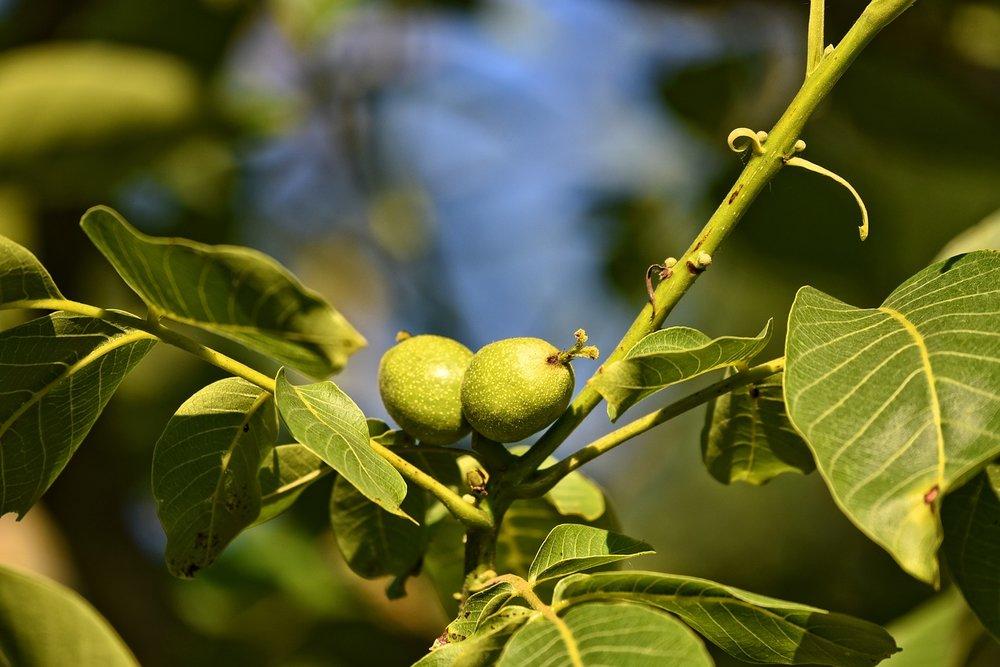 walnuts-3467721_1280.jpg