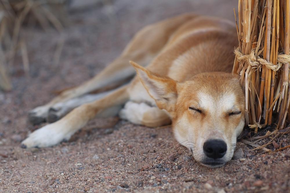 FPM Dingo takes time to ponder, then act   (Image: (c) Sergey Kichigin | Dreamstime.com)