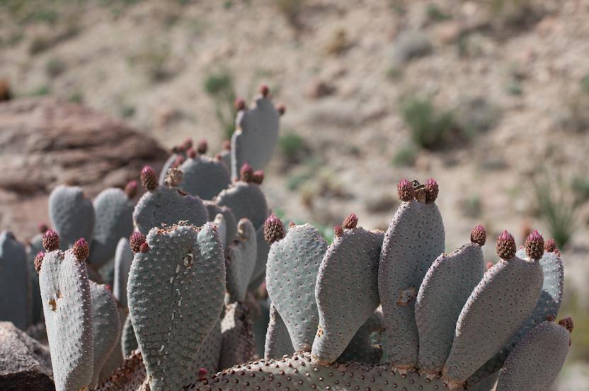 anza-borrego-desert-cactus