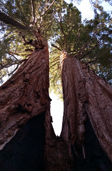 sequoia-trees-camp-redwood-meadow-california