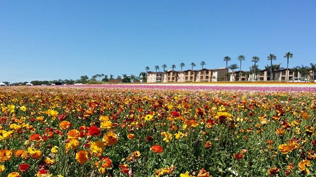 Beautiful day in San Diego. Stopped by the #flowerfields #sunshine #flowers #warmspringday