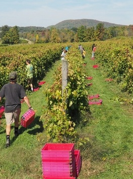 Wine in Vermont?     Harvest time in Vermont conjures images of dried cornstalks, heaps of pumpkins, fresh cider donuts, and multi-colored leaves. Amber, orange, and yellow images may be iconic to autumn in the Green Mountain State but lately hues of red, white and rosé are showing-up in an expanding agricultural economy where cold climate fruits are fermenting into value added libations to become unique facets of the modern wine world.    Read more:  http://www.snooth.com/articles/your-vermont-wine-guide-part-one/?viewall=1#ixzz3HfeH15Qk