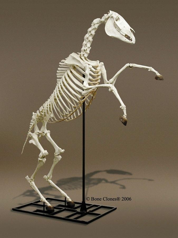horse - eeed70da4cf08ad085cdb42125a6d6bc.jpg