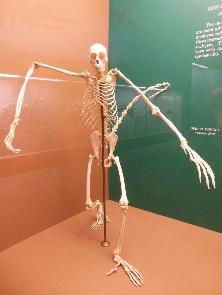 spider_monkey_skeleton_by_rlkitterman-d6jhn01.jpg