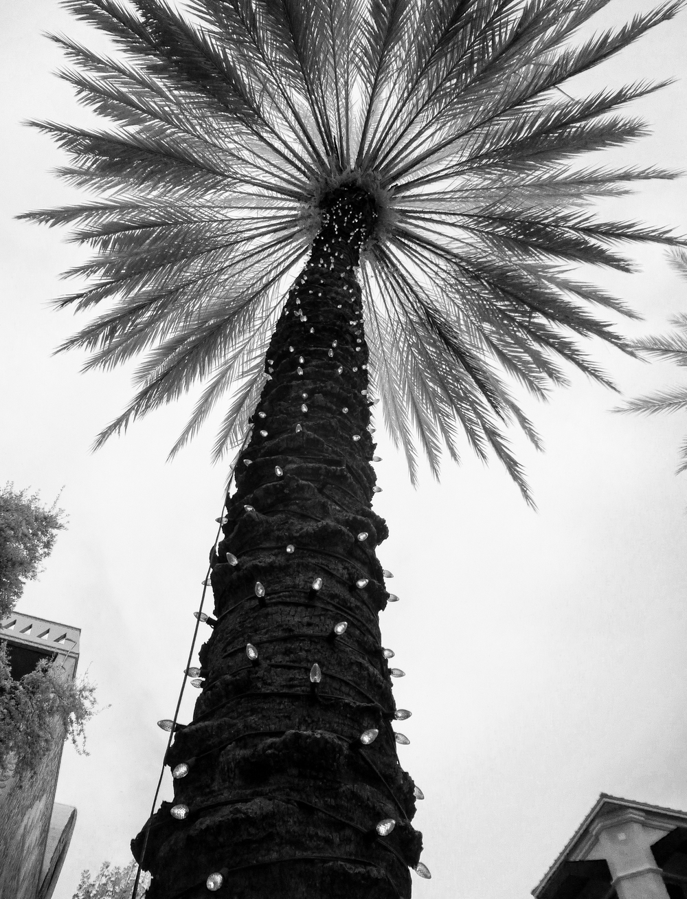 Lit Palm Tree In Coconut Grove (1 of 1).jpg