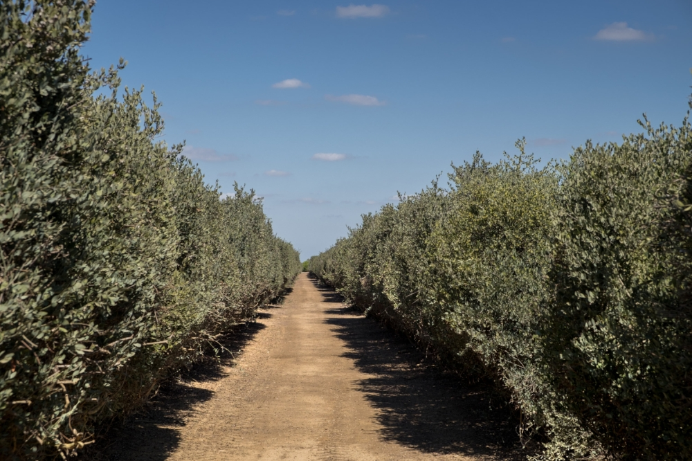Jojoba trees produced commercially on a farm in Australia