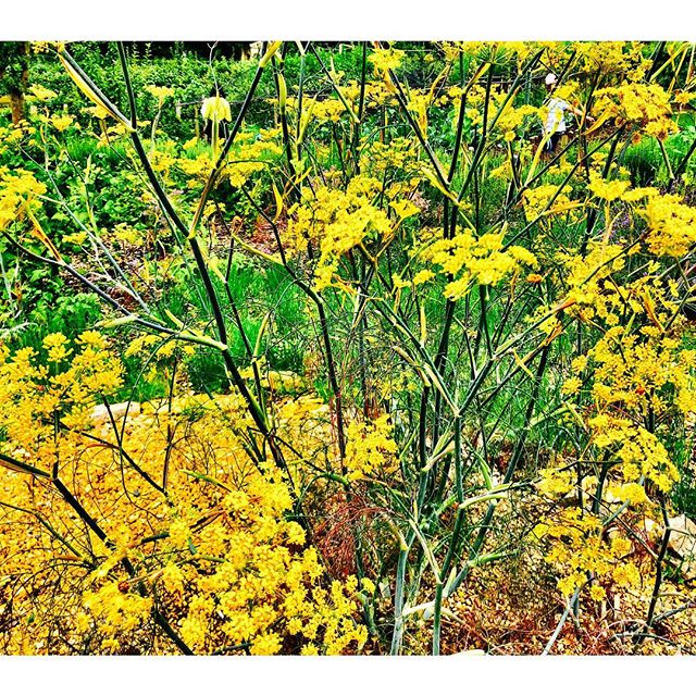 Sweet fennel (foeniculum vulgare dulce) . Kids back at school, almost back to school? Time to focus on ACTION-ing your own projects and dreams? Looking for a new essential oil to play around with? You could try Sweet Fennel, probably either love it or hate it? Its strong sweet anise like aroma is not everyone's taste .  Energetically, many believe seed oils are useful for helping to manifest your dreams and ideas. For a potent blend, mix with another seed oil like, carrot, Juniperberry, coriander, cardamom or black pepper. .  So if you need to kick start your own projects and inject some get up and go into them, you could try blending fennel and inhaling each morning for some extra zest. It blends well with citrus oils like lemon and orange. Also with other culinary herbs: basil, rosemary, lavender, ginger, chamomile and black pepper. It can also be used with tree oils or even cinnamon & nutmeg for a rich blend. . . . Traditionally Fennel has been used since ancient Egypt, the Greeks, Romans and Indians all used it was even used in Anglo Saxon cooking. It has long been valued for its action on the digestion system, relieving gas, settling the stomach and possibly nausea. It is also used as secondary respiratory oil and due to its stimulating properties can be used in a lymphatic massage to get combat cellulite and water retention. . .  Safety: It is not to be used in pregnant or nursing women and on children under 5. Due to its (E)-anethole content and other constituents, which have been shown as teratogenic. It can cause acute toxicity when ingested. Oxidation of the oil can further increase toxicity and dermal irritation. Not to be used with estrogen dependent cancers, or endometriosis. Use at a dilution of 1% for dermal app. #fennel #fennelseeds #essentialoils #essentialoilmama #england #countryside #manifestation #action #dreams #aromatherapy #culinaryherbs