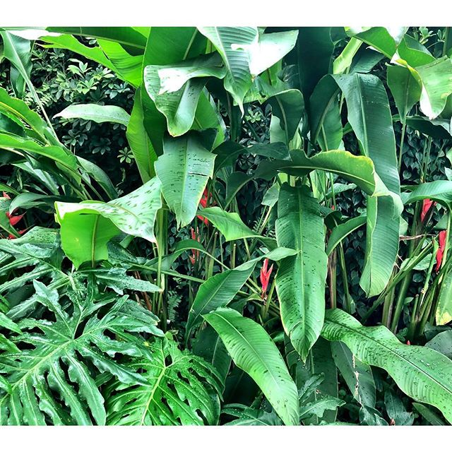 Back home in the tropics. Never tire of this beautiful green giant lushness I am surrounded by. Seek out some green if you need to replenish your energy. #singapore #tropics #plantmedicine #cityplants #citygreen #birdofparadise