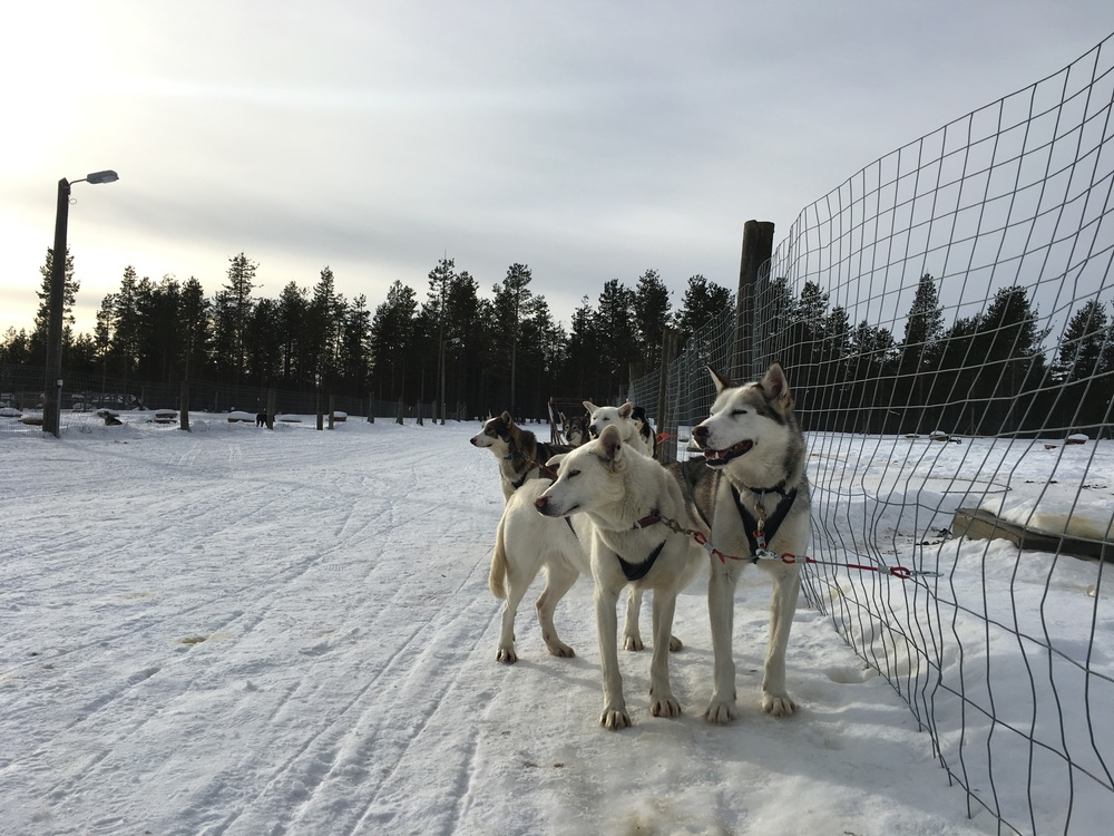 Sled dogs after their morning run / Sodankylä, Lapland / 23 Mar 2016