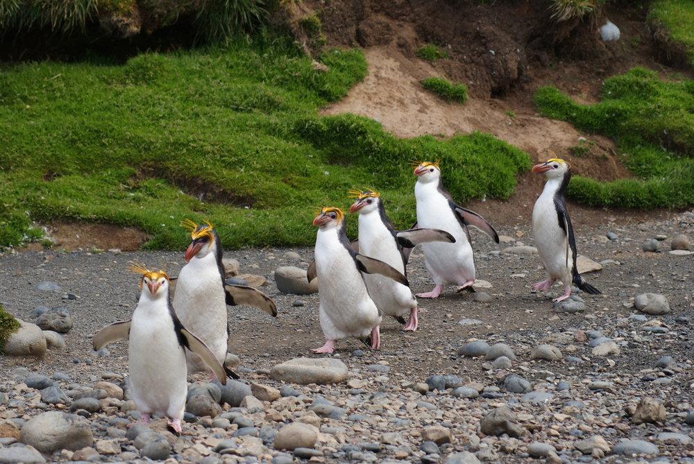 Royal penguins in single file. Photo: Josie van Dorst.