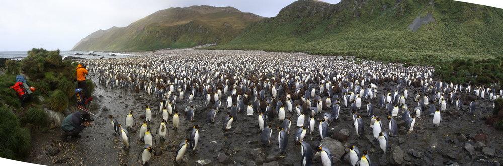 King penguin ( Aptenodytes patagonicus)  colony at Lusitania Bay, Macquarie Island. Photo by Josie van Dorst