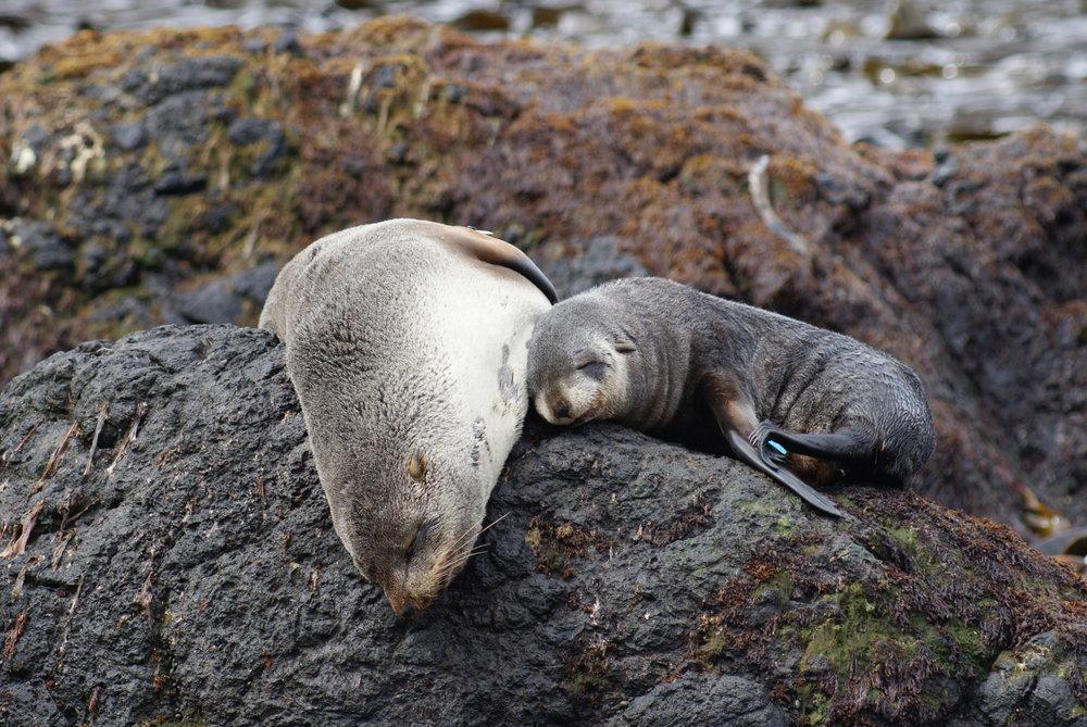Subantarctic fur seal (Arctocephalus tropicalis)mum and pup taking in some sun. Photo by Josie van Dorst
