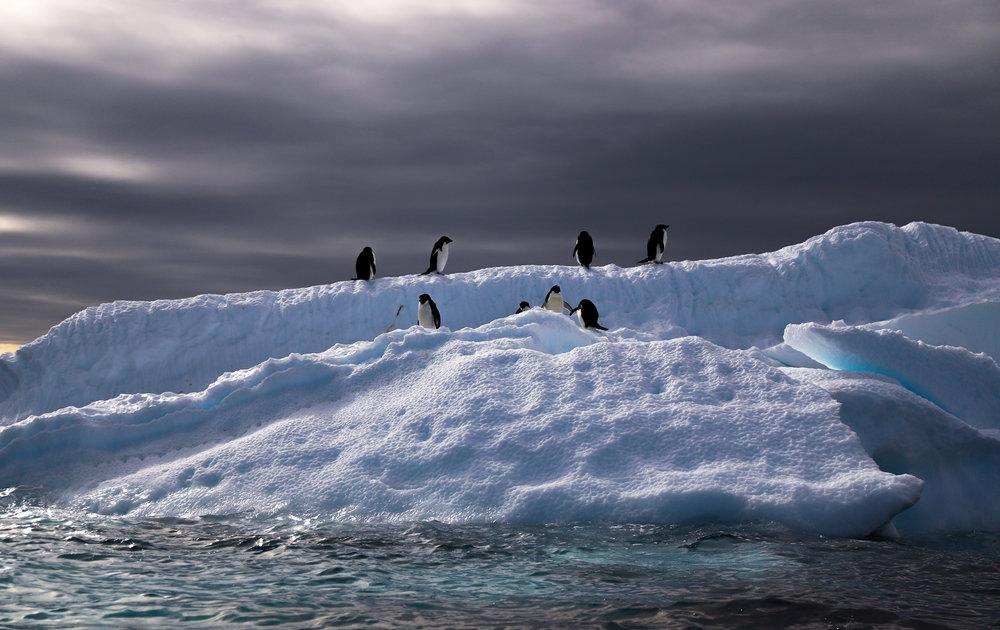 Adelie penguins on a berg.