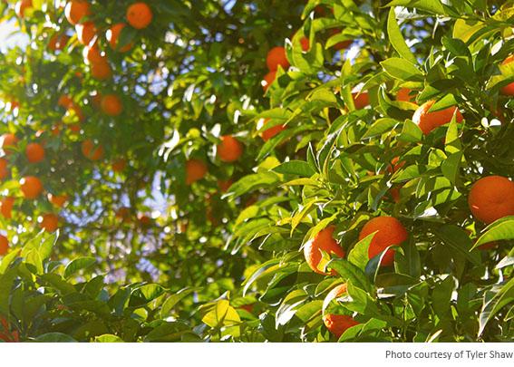 Spanish_oranges