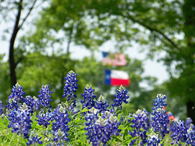 Texas and American Pride with our beautiful blue bonnets!