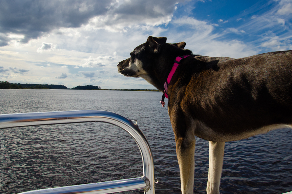 Little Foot the dog taking in the salty fresh air from the bow of the boat.