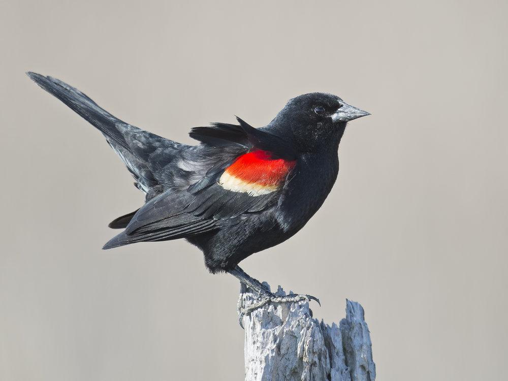 red winged black bird iStock-544985476.jpg