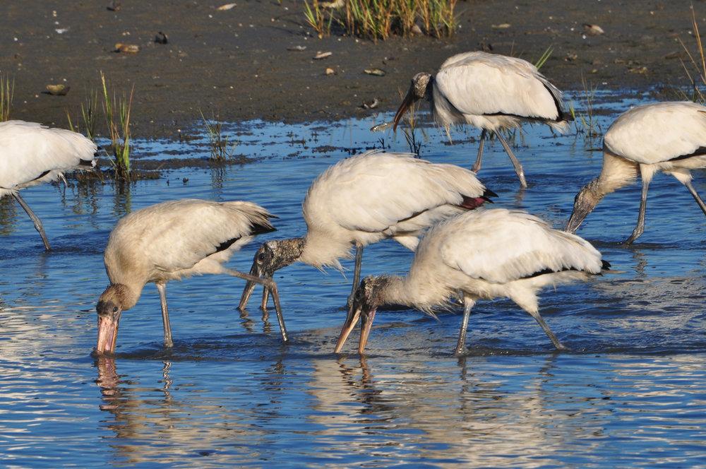 Wood Stork Flock; Fish in Bill.JPG